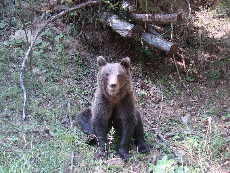 Urs lovit de o mașină pe DN1, în SibiuUn urs a fost rănit, vineri seara, după ce a fost lovit de o mașină, pe DN1, în afara localității Scoreiu din județul Sibiu.