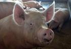 O descoperire pentru Alzheimer. Cercetătorii au reactivat funcţiile cerebrale ale unui porc la 4 ore de la sacrificarea acestuia