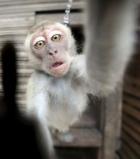 O maimuță a provocat o pană de curent la nivel național în Kenya. Culmea e ca a supravietuit