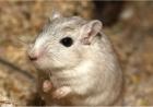 Oamenii de știință au reușit să amâne îmbătrânirea la șoareci. Viața le-a fost prelungită cu 25%