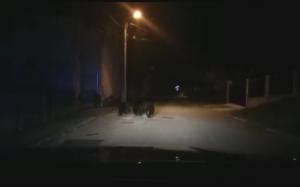 Cinci intervenţii ale jandarmilor pentru alungarea a 11 urşi din Buşteni