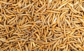 Europenii pot mânca viermi! UE a aprobat utilizarea lor în pâine ca ingredient