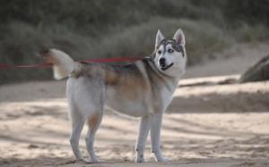 Fetiţă de 12 ani muşcată de faţă de un Husky. Proprietara câinelui a făcut infarct şi a murit pe loc de grija victimei