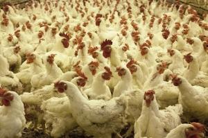 Gripă aviară diagnosticată într-o fermă din Maramureş
