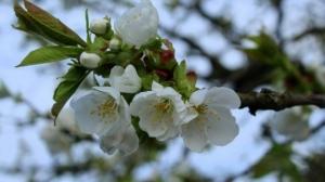 Localităţile din România unde pomii au înflorit pentru a două oară. Ce semnificaţie are acest fenomen