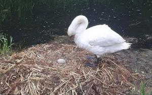 O lebădă a murit de tristeţe după ce un grup de adolescenţi i-a zdrobit ouăle din cuib