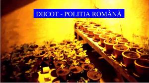 Peste 50 de ghivece cannabis, descoperite într-o locuință din Slatina