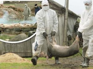 Situație alarmanta in județul Constanța: peste 1.800 de porci au fost sacrificati
