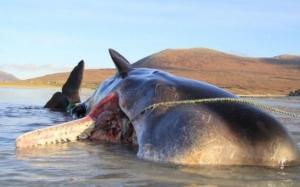 Un caşalot a murit pe o plajă din Scoţia cu 100 de kilograme de gunoaie în stomac