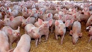 Un focar de pestă porcină a fost confirmat în Satu Mare