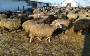 Un reputat cercetător a explicat care e brânza de oaie cea mai bună din România si care e secretul fabricarii ei. Nu e cea facuta de sibieni!