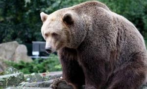 Unsprezece persoane, cercetate după ce au participat la vânătoarea ilegală a unui urs