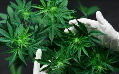 ONU recunoaşte oficial proprietăţile medicinale ale canabisului. A fost scos de pe lista stupefiantelor periculoase