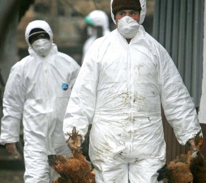 Un nou focar de gripa aviara in Maramures: inca 22.000 de pasari au fost eutanasiate