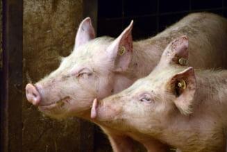 """""""Legea porcului"""" impune ca numarul de animale crescute in gospodarie sa fie limitat!"""