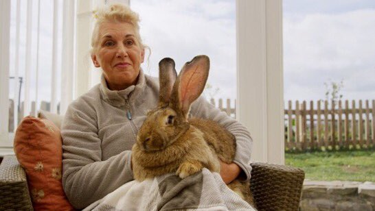 Cine l-a furat pe Darius cel mai mare iepure din lume? El apartinea unei vedete Playboy si nu mai poate fi folosit pentru reproducere