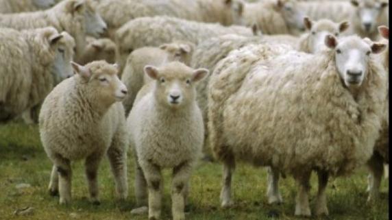 Comisia Europeană îi cere lui Daea să oprească exportul a 70.000 de oi către state arabe