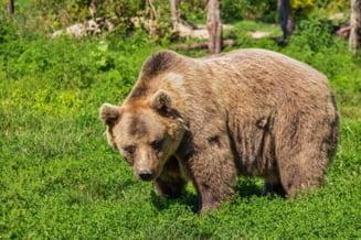 Despăgubiri de 15.000 de euro date în instanţă pentru o persoană atacată de urs. Statul român, responsabil pentru atac