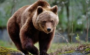 Nou atac al urșilor în Harghita - Bărbat de 53 de ani, rănit grav