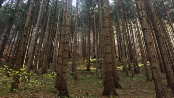 Nu se mai taie lemn din pădurile seculare. Ministrul Mediului anunţă că pădurile mai vechi de 140 de ani vor fi protejate