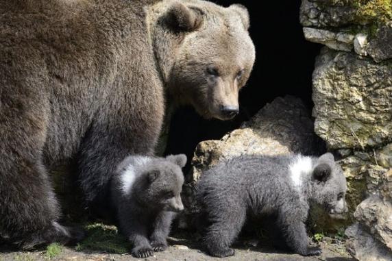 O ursoaică cu doi pui a atacat curtea unui sătean din Fundata. Animalele au luat un miel din gospodărie și l-au mâncat