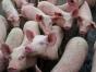 Bulgaria sacrifică 24.000 de porci, nou focar de pestă porcină