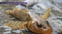 Cea mai rară specie de pește din Europa, considerată fosilă vie, a reapărut într-un râu din România