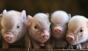 Crescatorii de animale doresc uciderea tututor porcilor pe o raza de 10 kilometri in jurul fermelor