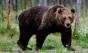 Doi copii au fost atacaţi de urs în judeţul Sibiu. Care este starea lor