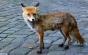 O vulpe a furat aproape 100 de pantofi dintr-un cartier din Berlin