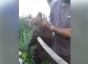 Prahova: Pui de urs ridicat dintr-o pădure din Bușteni, era nemâncat și nu mai putea merge