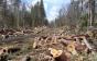 Proiectul lui Dragnea, desființat de comunitatea forestierilor. Cât pierde România prin interzicerea exporturilor de bușteni