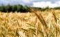 """România are o producţie de grâu de aproape 7 ori mai mare decât pe vremea când era """"grânarul Europei"""" şi românii se îmbolnăveau de pelagră!"""