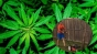Un barbat acuzat ca facea trafic de cannabis a fost condamnat sa tunda iarba