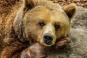 Un urs a murit după ce a fost lovit în plin de o mașină langa Ploiesti. Șoferul a fost testat cu aparatul etilotest