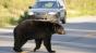 Urs, ucis de o mașină pe autostrada A3