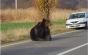 Vela, despre cazul ursului: Jandarmeria are armament, dar nu are tranchilizante și specialiști