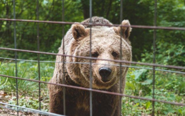 Fermă ilegală de urşi, făcută în ogradă. Proprietarul, mai tare decât legea