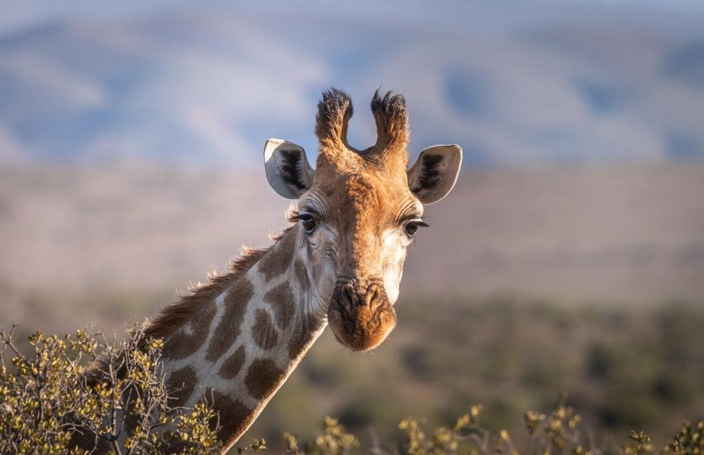 Gina - singura girafa din gradinile zoologice din Romania a murit inecata