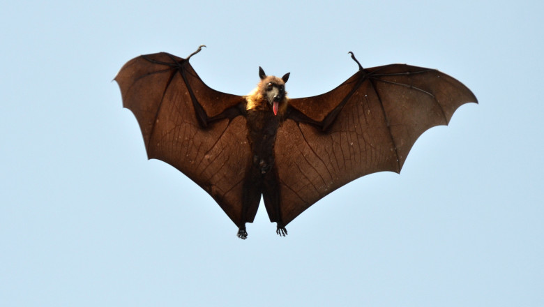 Nipah: Alt virus care îi sperie pe oamenii de știință si cu gazdă comună cu SARS-CoV-2