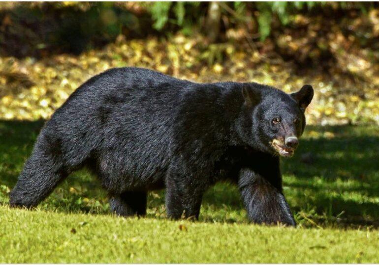 O boală misterioasă face urșii să se comporte ca și câinii. Ar putea avea legatură cu 5 virusi necunoscuti