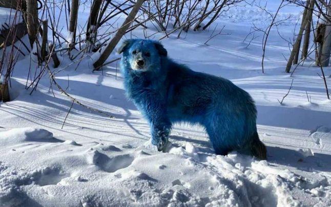 """O haită de """"câini albaştri"""" a bagat spaima într-un oraş din Rusia"""