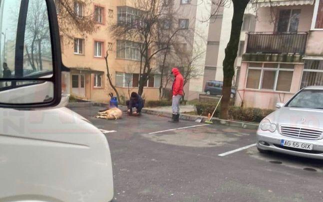 Porc tăiat în parcarea unui bloc. Cu ce sancţiuni s-a lăsat operaţiunea